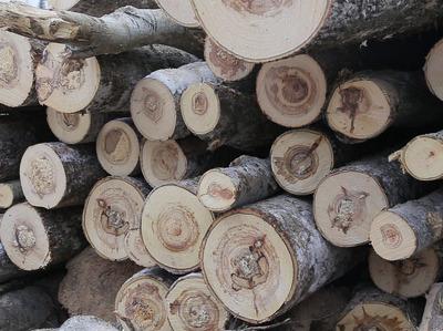Под Томском чёрные лесорубы вырубили сосен на 2,5 миллиона