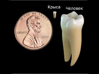 Сравнение человеческого зуба с крысиным и размерами монеты (иллюстрация Wyss Institute).