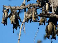 Пальмовые крыланы – одни из самых распространённых в Африке представителей отряда рукокрылых ((фото James Wood).)