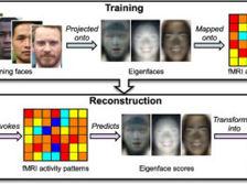 Нейробиологи впервые с высокой точностью по данным МРТ воссоздали лица людей, запечатлённые в сознании человека  ((иллюстрация Alan Cowen et al.))