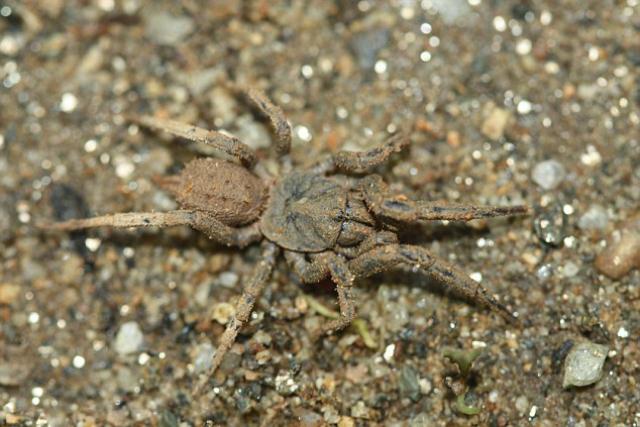 Паук – член семейства Paratropididae, девять видов которого проживают в Центральной и Южной Америке (фото Sjl197/Stuart Longhorn/Wikimedia Commons).