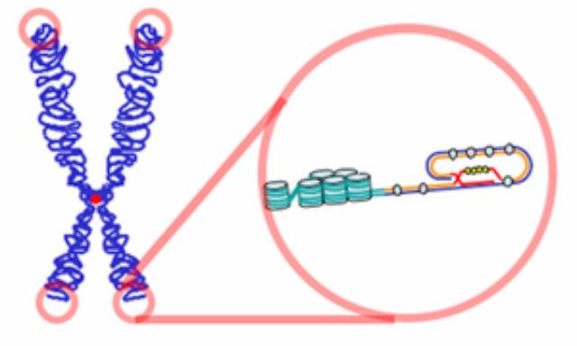 От длины теломер зависит продолжительность жизни (иллюстрация Wikimedia Commons).
