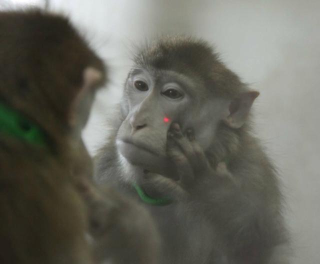 Обезьяны научились опознавать себя в зеркале после небольшой тренировки и с помощью лазерных меток (фото Neng Gong et al./Current Biology 2015).