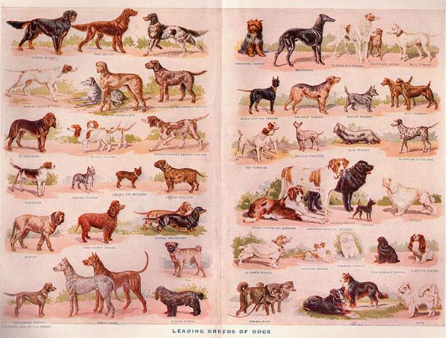 Иллюстрация различных пород собак. Нью-Йорк, 1911 год (иллюстрация SueClark/Wikimedia commons).