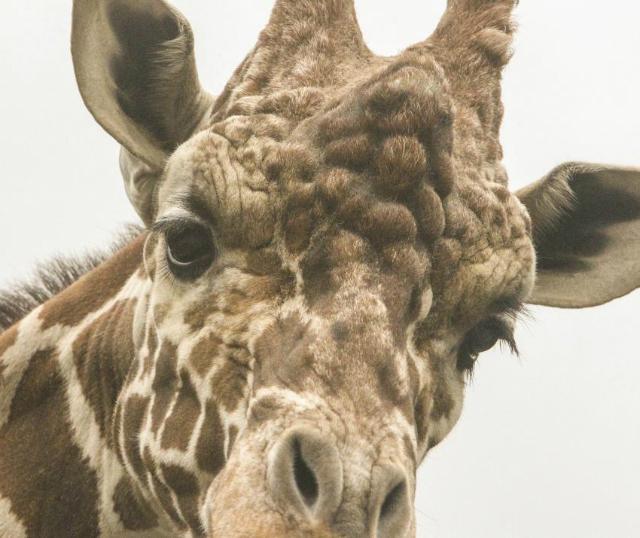 Жирафы, как и 21 другой вид млекопитающих (включая человека) обладают ресницами, закрывающими треть ширины их глаза (фото Georgia Institute of Technology).