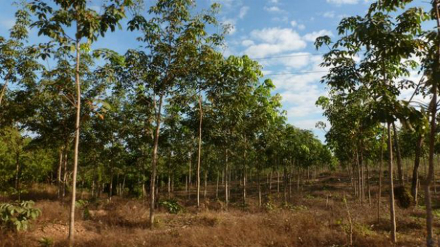 Особо охраняемые территории каучуковых плантаций (фото UEA).