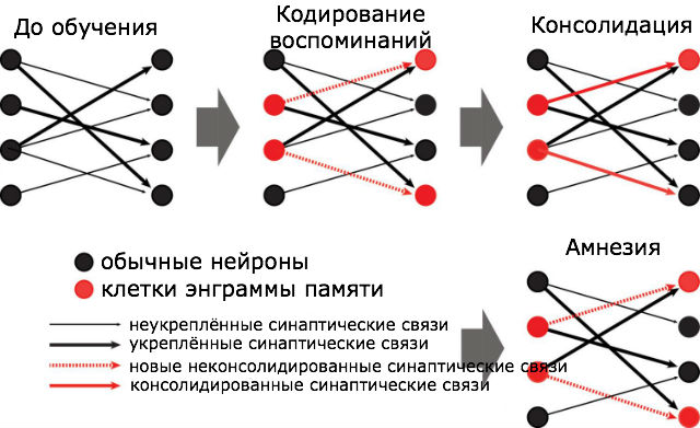 Схема формирования, утраты и восстановления воспоминаний (иллюстрация Michele Pignatelli).