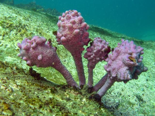 Морской тюльпан – Pyuras pinifera (фото Richard Ling/Flickr).