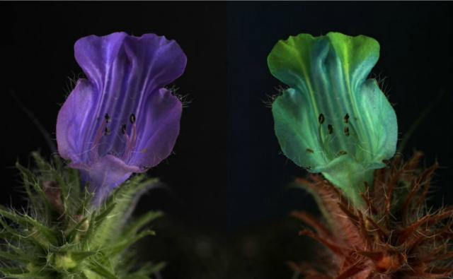 Цветок семейства бурачниковых – при зрительном восприятии человеком (слева) и пчелой (справа) (фото University of Exeter/Flickr).