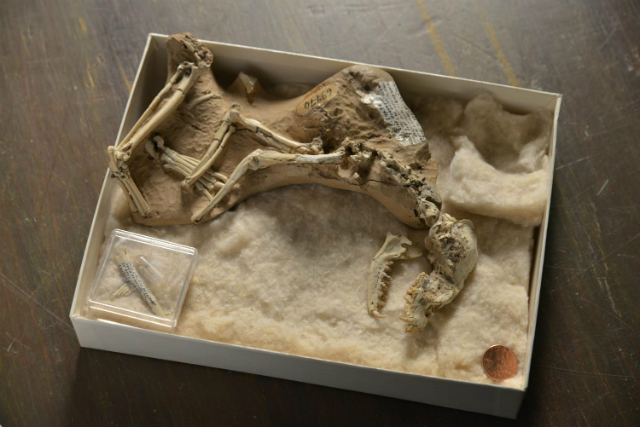Скелет ископаемой собаки рода Archaeocyon возрастом в 30 миллионов лет, хранящийся в Американском музее естествознания. Первые собаки, появившиеся в Северной Америке примерно 40 миллионов лет тому назад, были животными, не превышавшими по размерам домашнюю кошку или чихуахуа (фото AMNH/D. Finnin).