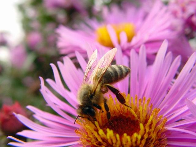 Неоникотиноидные химические вещества также вредят пчёлам (фото ndboy/Flickr).