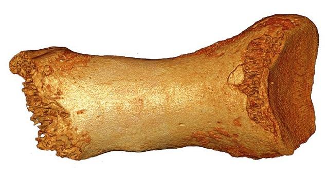 Кость ноги неандертальца из Денисовой пещеры (фото Bence Viola).