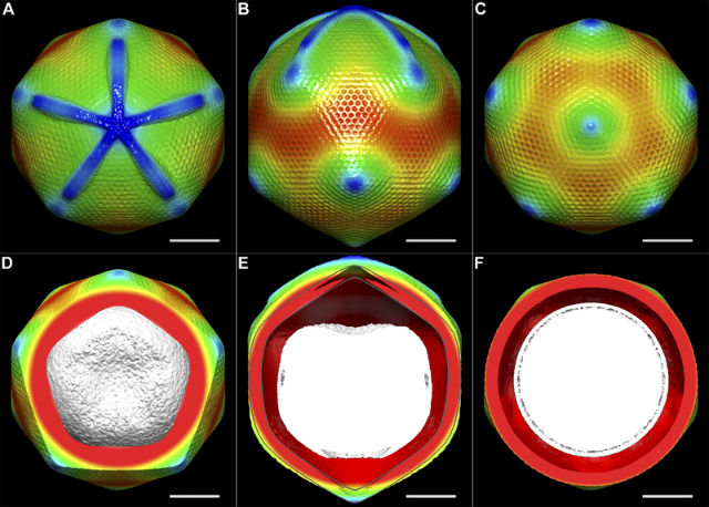 Реконструкция структуры капсида мимивируса (иллюстрация Xiao C, Kuznetsov YG et al./Wikipedia Commons).