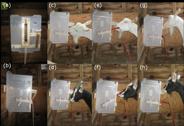 Для того чтобы извлечь пищу из коробки, козлы следовали определённой логике (фото Queen Mary University of London).