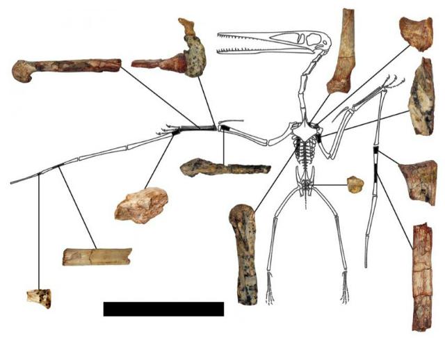 """Сохранившиеся кости """"криптодракона"""" пролили новый свет на происхождение и эволюцию птеродактилей (фото Brian Andres)."""