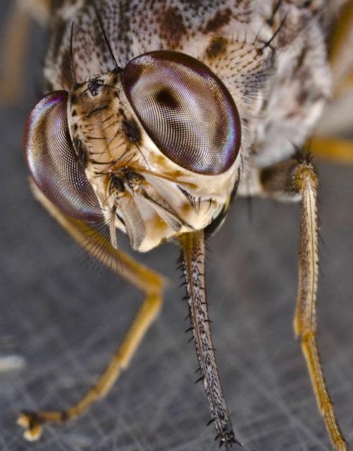 Муха цеце питается только кровью животных и человека, а также может переносить паразитов, вызывающих сонную болезнь (фото Geoffrey M. Attardo).