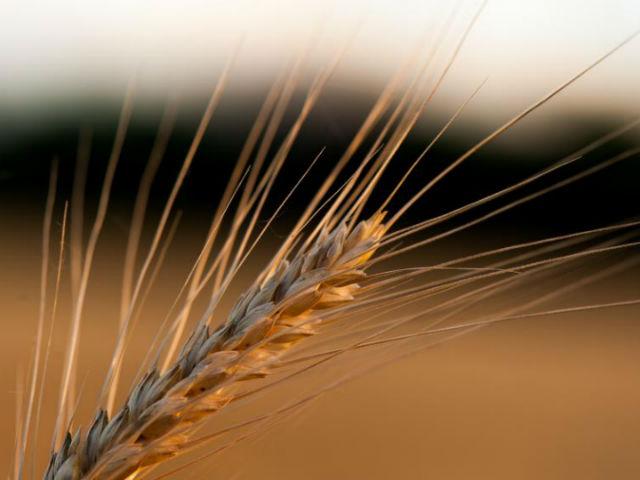 Пшеница является не только главной сельскохозяйственной культурой, но и обладателем одного из самых сложных геномов в мире (фото Kansas State University).