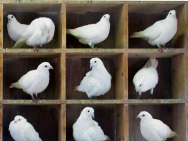 Два голубя могут поделить одну ячейку в голубятне, а две частицы не могут (фото Wikimedia Commons).