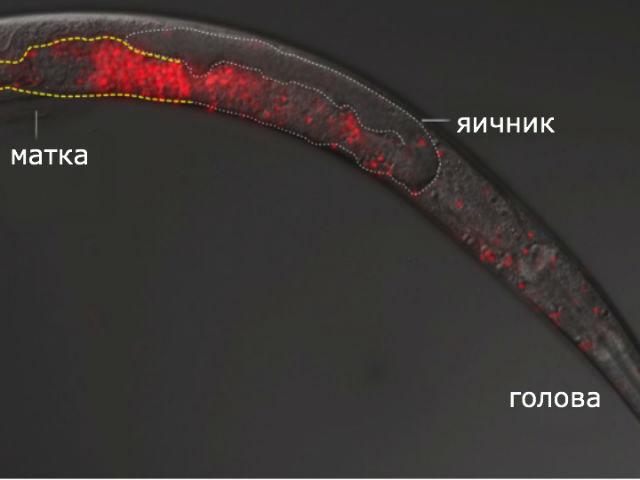 Электронная микрофотография червя после спаривания (иллюстрация Gavin Woodruff).