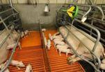Голландский фермер кормит свиней бактериями