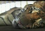 Тигры способны имитировать голоса других животных