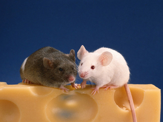 Любовные песни мышей