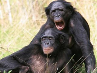 Артефакты бонобо