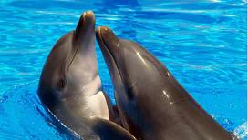 Дельфины помогают военным в поисках торпед
