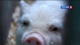 Свиньи делают из человека супермена