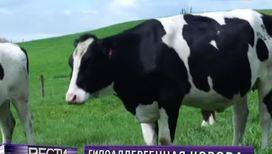Найдена корова, дающая гипоаллергенное молоко