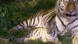 Тигр - очень умное животное