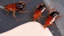 Тараканы могут спариваться даже без головы