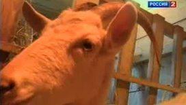 Ученые: козы блеют с акцентом